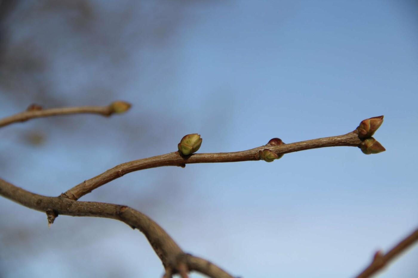 Аномалия или примета грядущего тепла: в Тамбове заметили первые почки на деревьях, фото-1