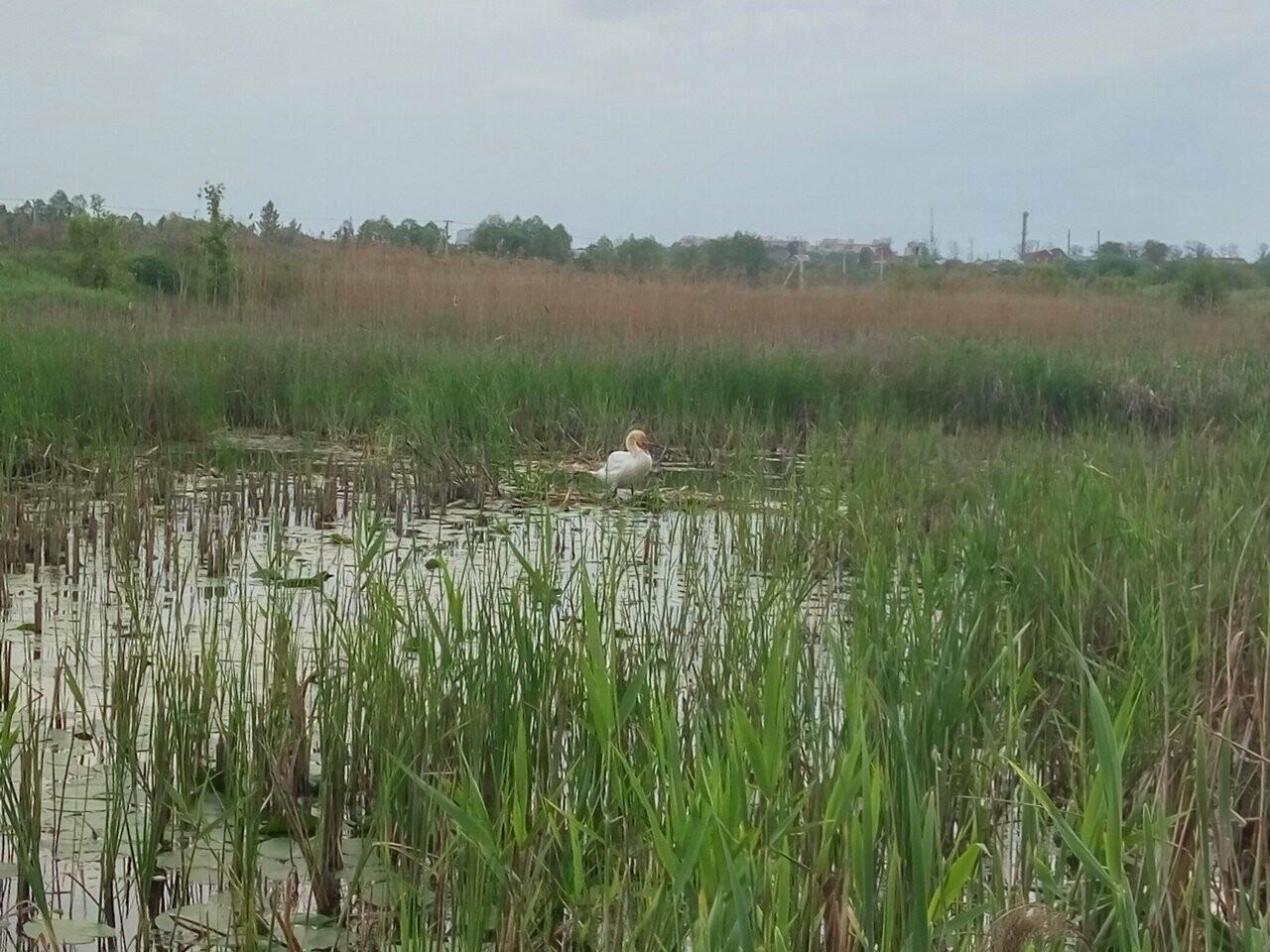 В Бокино поселился лебедь, фото-5