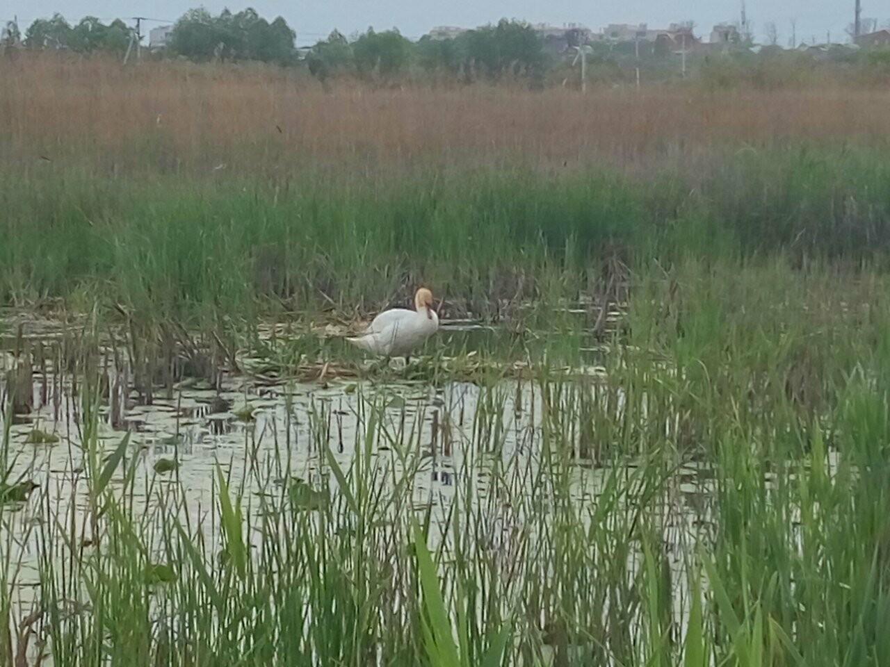 В Бокино поселился лебедь, фото-3