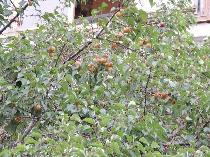 Тамбовчане собрали небывалый урожай абрикосов, фото-11