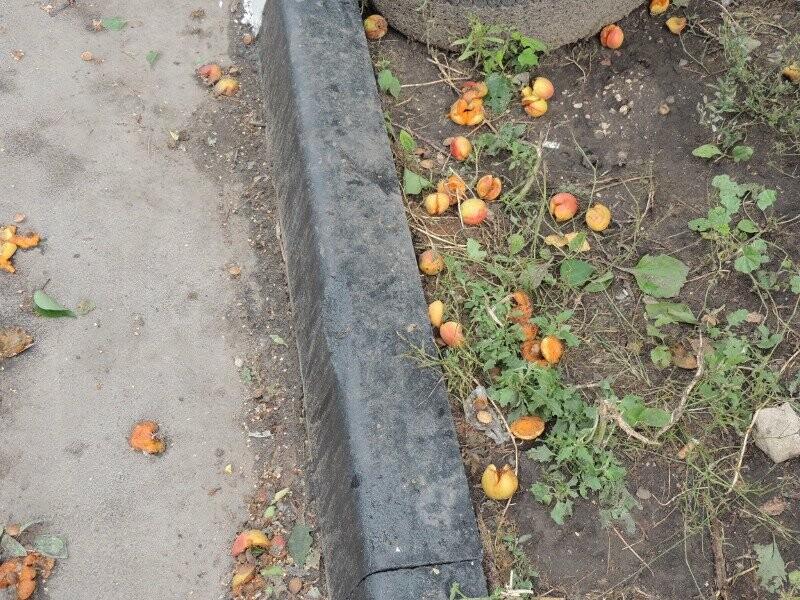 Тамбовчане собрали небывалый урожай абрикосов, фото-8