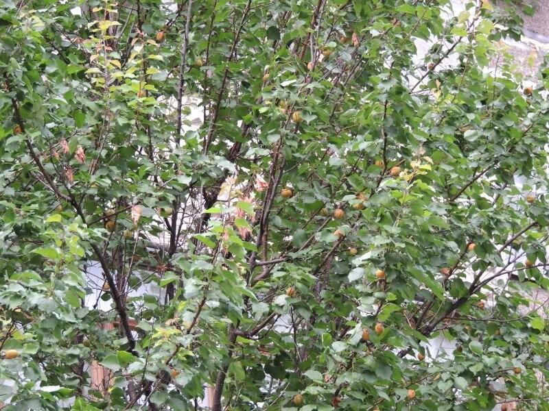 Тамбовчане собрали небывалый урожай абрикосов, фото-1