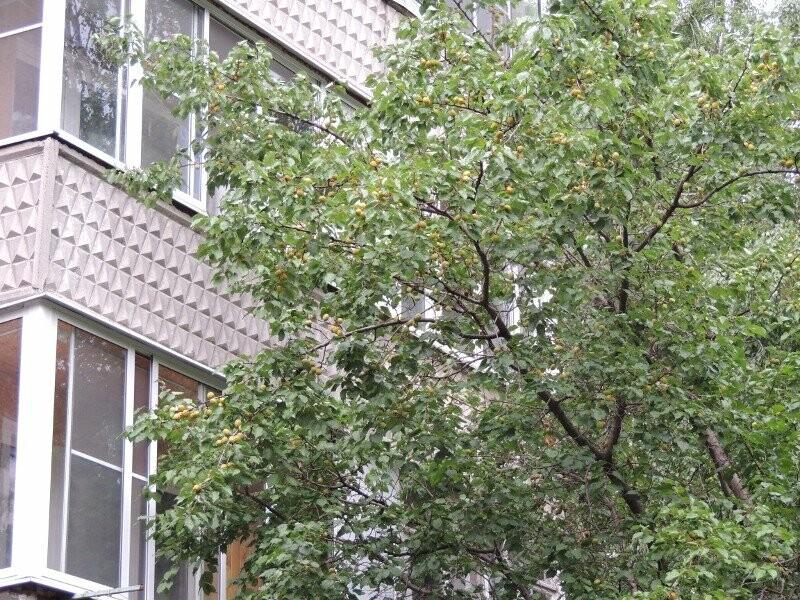 Тамбовчане собрали небывалый урожай абрикосов, фото-9