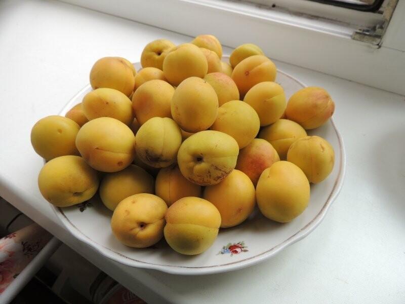 Тамбовчане собрали небывалый урожай абрикосов, фото-5