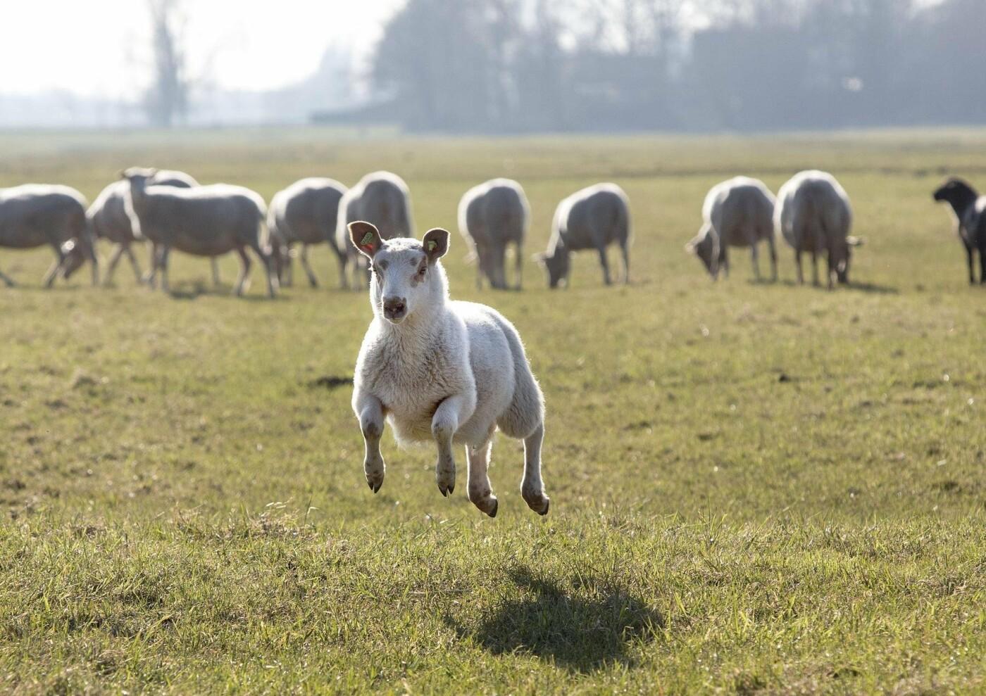 На Тамбовщине от бешенства стали гибнуть овцы, фото-1