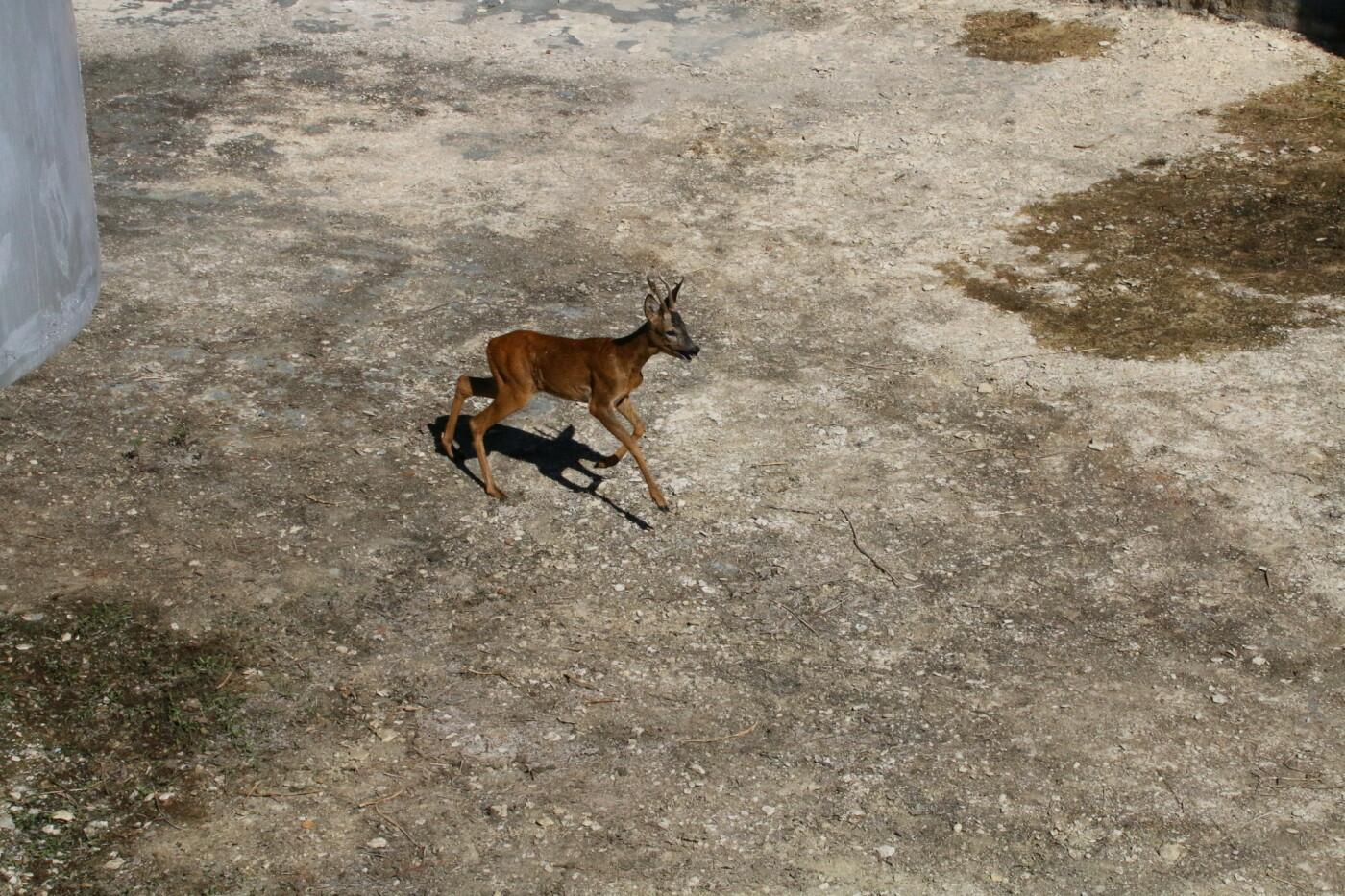 На котовских очистных спасли косулю, фото-1