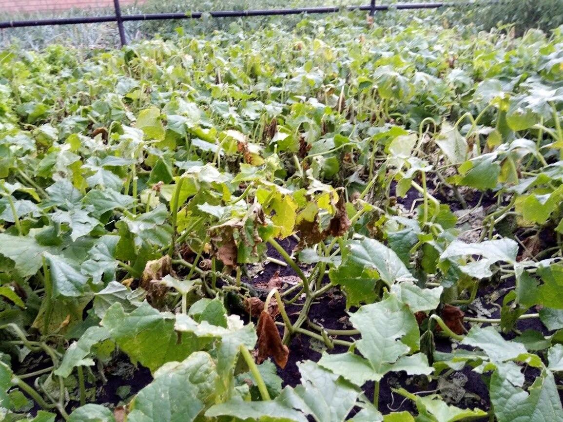 Без огурцов и пшеницы: в Жердевском районе крупный град побил всходы на полях и огородах, фото-9