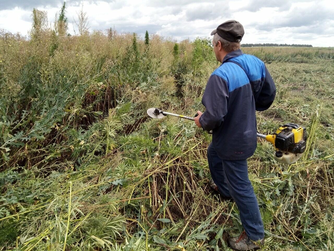 В Никифоровском районе полиция уничтожила целое поле дикой конопли, фото-1